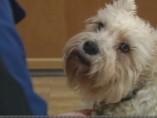 Sissy, la perrita schnauzer que visitó a su dueña en el hospital