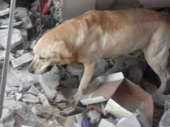 Muere Dayko, el perro que se convirtió en héroe por el rescate de víctimas en Ecuador
